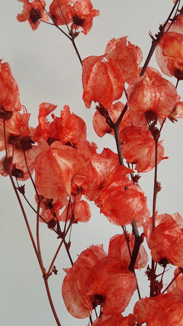 bougainville droogboeket droogbloem driedflower red webhsop droogboeketten