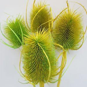 Kaardebol distel gedroogde gedroogde bloemen leafs flower art webshop droogbloemen uitgeest heemskerk